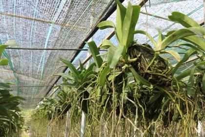 Hoàn thiện quy trình trồng, chăm sóc và nhân giống lan Dendrobium, Cattleya, Oncidium và giống lan rừng trong nhà lưới bằng phương pháp tách chiết