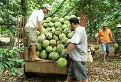 Approximately 57 hectares of Xuan Dinh durians are certified to meet VietGAP standards