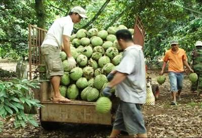 Gần 57 ha sầu riêng Xuân Định đã được chứng nhận VietGAP