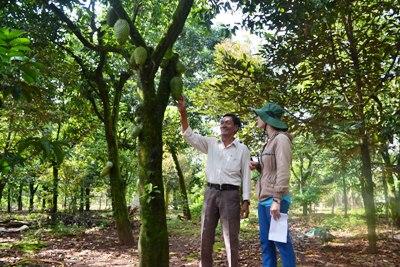 Xã Xuân Bảo: Phát triển cây mãng cầu xiêm theo hướng VietGAP